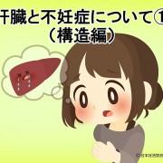 肝臓と不妊症について①(構造編)